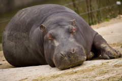 hippopotamus стоковые изображения
