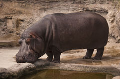 hippopotamus Стоковое Изображение RF