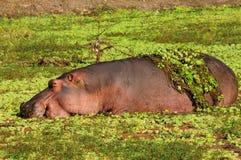 Hippopotamus Lizenzfreies Stockbild
