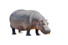 Hippopotamus. View of huge hippopotamus isolated on white background stock photography