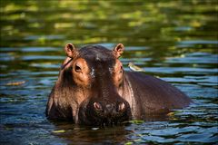 The hippopotamus. On the bright midday sun hippopotamus in water with a birdie on a back. Africa stock photo