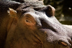 Close up of hippopotamus Royalty Free Stock Images
