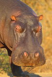 Hippopotamus. Photographed in South Africa stock photography