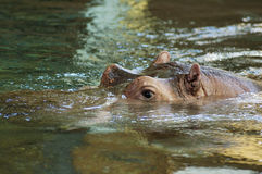 Hippopotamus Fotos de archivo libres de regalías