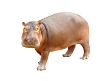 Hippopotamus. One hippopotamus on white background royalty free stock photography