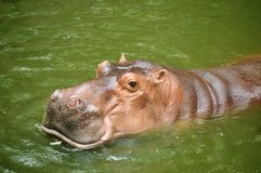 Hippopotamus. Relaxing in fresh water royalty free stock photo