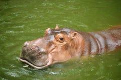 hippopotamus στοκ φωτογραφία με δικαίωμα ελεύθερης χρήσης