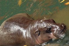 Hippopotamus immagine stock libera da diritti
