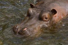 hippopotamus Стоковые Фото