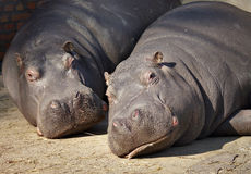 Hippopotamus. Male and Female Hippopotamus lying on the ground royalty free stock photo