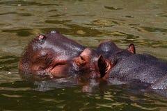 The hippopotamus Royalty Free Stock Photos