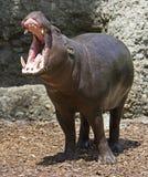 hippopotamus 2 πυγμαίο Στοκ Φωτογραφία