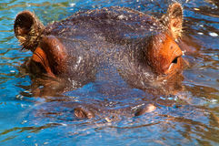 Hippopotamus. The hippopotamus looks at me Royalty Free Stock Image