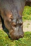 hippopotamus стоковая фотография rf