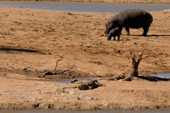 Hippopotamus Immagini Stock Libere da Diritti