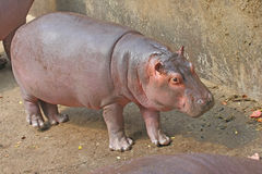 Hippopotamus. A big wild animal Stock Images