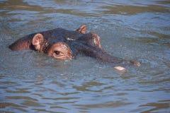 Hippopotamus Fotografia Stock Libera da Diritti