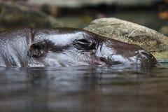 Hippopotamus Photographie stock libre de droits