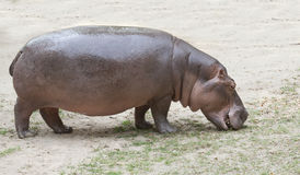 The hippopotamus Stock Photo