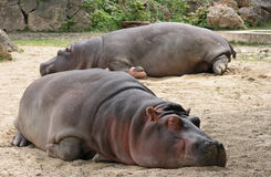 Hippopotamus. Two Hippopotamus sleeping in zoo Royalty Free Stock Photography