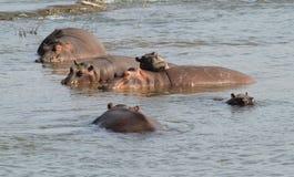 Hippopotamus. Lizenzfreies Stockbild