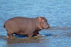 Hippopotamus στο ύδωρ Στοκ φωτογραφία με δικαίωμα ελεύθερης χρήσης