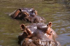 Hippopotamus. Amphibius in Yerevan zoo Stock Photos