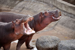 Hippopotamus Royalty Free Stock Photos