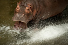 Hippopotamus . Royalty Free Stock Photography