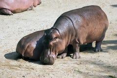 Hippopotamus Lizenzfreies Stockfoto