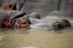 Hippopotamus. Portrait of a dangerous and fantastic hippopotamus Royalty Free Stock Image