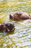 Hippopotamus. Head in the water stock images