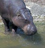 hippopotamus 3 πυγμαίο Στοκ φωτογραφία με δικαίωμα ελεύθερης χρήσης