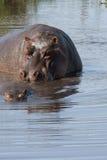 Hippopotamus 2 Στοκ Εικόνες