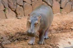 hippopotamus Стоковое Фото