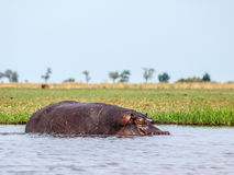 Hippopotamus. In the river Chobe royalty free stock photo