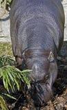 hippopotamus 4 πυγμαίο Στοκ Εικόνα