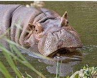 Hippopotamus 4 Imagen de archivo