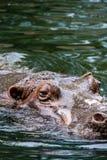 Hippopotamus Imagens de Stock