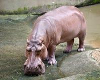 Hippopotamus stockfoto