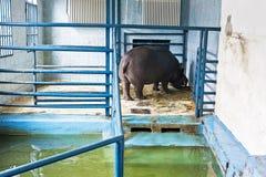 hippopotamus Στοκ φωτογραφίες με δικαίωμα ελεύθερης χρήσης