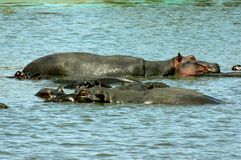Hippopotamus. Bathing in a waterhole Stock Photos