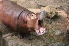 Hippopotamus Stockbild