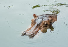 Hippopotamus royalty-vrije stock foto