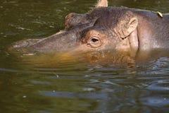 Hippopotamus Fotografia de Stock Royalty Free