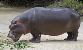 Hippopotamus 6 Stock Photography
