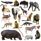 Σύνολο hippopotamus και άλλων αφρικανικών ζώων απομονωμένος Στοκ Εικόνα
