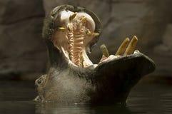 Hippopotamus imagen de archivo