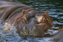 Hippopotamus stockfotos