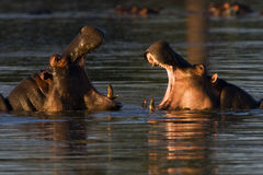 Hippopotamus. Amphibius; South Africa Royalty Free Stock Photo